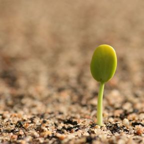 600px-Germinating_seedling